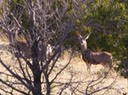 San Pedro Creek Mule Deer